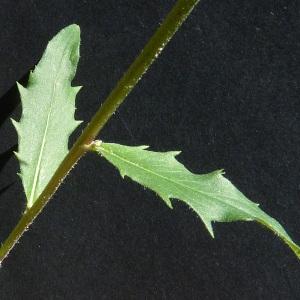 Photographie n°43033 du taxon Hieracium laevigatum Willd. [1803]