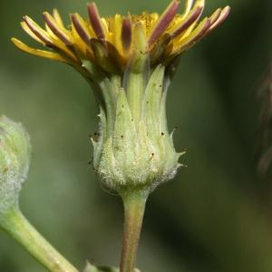 Photographie n°43052 du taxon Sonchus asper (L.) Hill