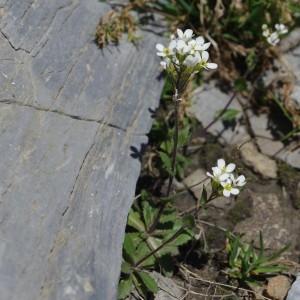 Photographie n°43084 du taxon Arabis alpina L.