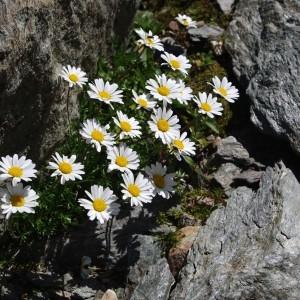 Photographie n°43085 du taxon Leucanthemopsis alpina (L.) Heywood [1975]