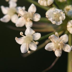 Photographie n°43095 du taxon Cervaria rivini Gaertn. [1788]