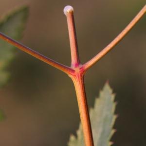 Photographie n°43098 du taxon Cervaria rivini Gaertn. [1788]