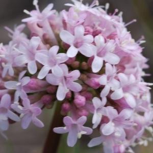 Photographie n°43124 du taxon Valeriana tuberosa