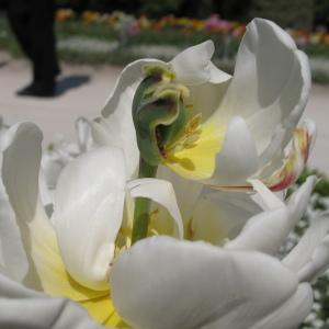 Photographie n°43133 du taxon Tulipa L. [1753]