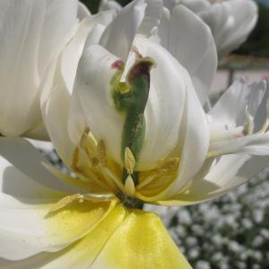 - Tulipa L. [1753]