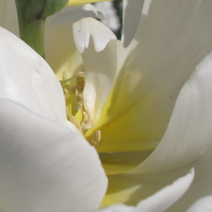 Photographie n°43135 du taxon Tulipa L. [1753]