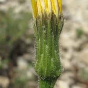 Leontodon crispus Vill. (Liondent à feuilles crépues)
