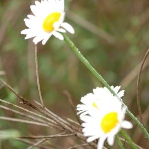 Leucanthemum subglaucum De Laramb. (Marguerite vert-glauque)