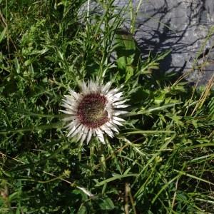 Photographie n°43185 du taxon Carlina acaulis L.