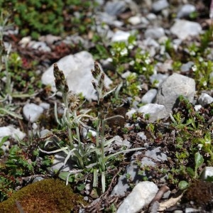 Gnaphalium hoppeanum W.D.J.Koch (Gnaphale de Hoppe)
