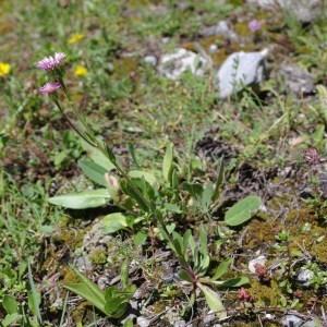 Photographie n°43198 du taxon Erigeron alpinus L. [1753]