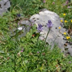 Photographie n°43200 du taxon Phyteuma betonicifolium Vill. [1785]