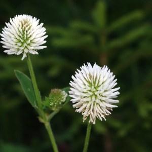 Photographie n°43217 du taxon Trifolium montanum L.