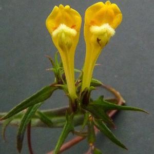 Photographie n°43236 du taxon Melampyrum pratense L.