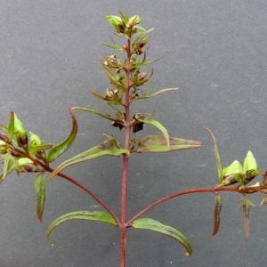 Photographie n°43237 du taxon Melampyrum pratense L.