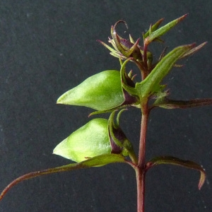 Photographie n°43238 du taxon Melampyrum pratense L.