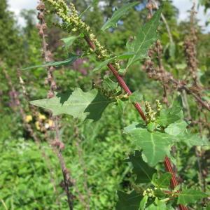 Photographie n°43260 du taxon Chenopodium rubrum L. [1753]