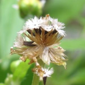 Photographie n°43271 du taxon Galinsoga parviflora Cav.
