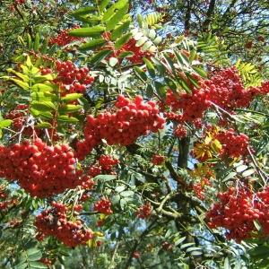 Photographie n°43276 du taxon Sorbus aucuparia L.