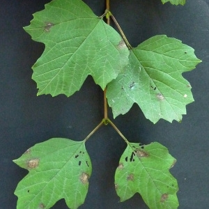 Photographie n°43305 du taxon Viburnum opulus L. [1753]