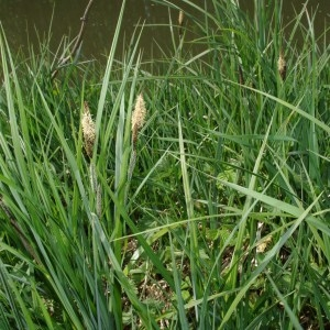 Photographie n°43322 du taxon Carex riparia Curtis [1783]