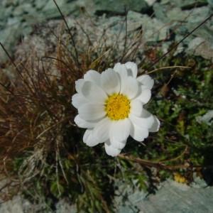 Leucanthemopsis alpina subsp. minima (Vill.) Holub (Petite Marguerite)