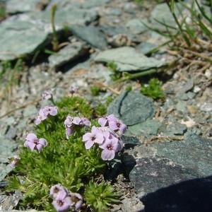 Photographie n°43341 du taxon Petrocallis pyrenaica (L.) R.Br. [1812]