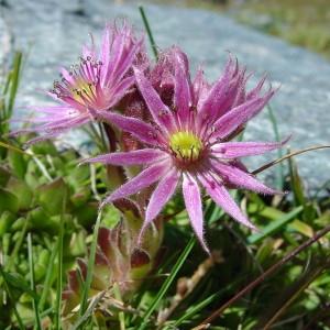 Photographie n°43346 du taxon Sempervivum montanum L. [1753]