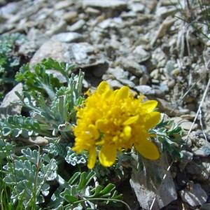 Photographie n°43348 du taxon Senecio incanus L.