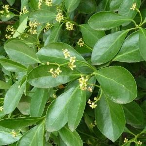 Photographie n°43350 du taxon Euonymus japonicus L.f.