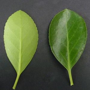 Photographie n°43352 du taxon Euonymus japonicus L.f.