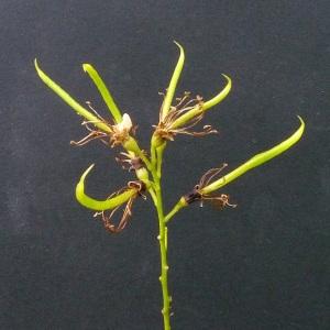Photographie n°43353 du taxon Sophora japonica L.