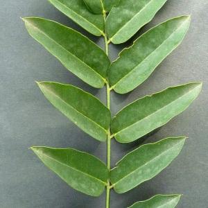 Photographie n°43355 du taxon Sophora japonica L.