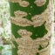 Bertrand BUI - Sophora japonica L.