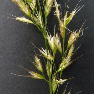 Trisetum flavescens (L.) P.Beauv. (Avoine dorée)