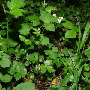 Photographie n°43366 du taxon Sanicula europaea L.