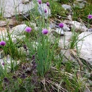 Photographie n°43377 du taxon Allium schoenoprasum L.