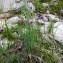 Jean-Luc Gorremans - Allium schoenoprasum L.