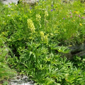 Photographie n°43378 du taxon Aconitum vulparia Rchb. [1819]