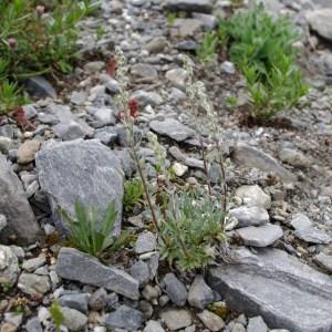 Photographie n°43403 du taxon Artemisia genipi Weber [1775]