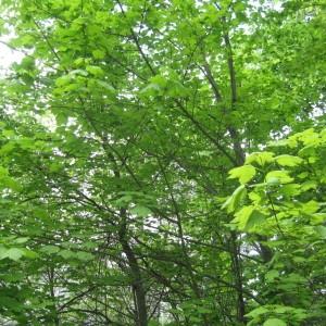 Photographie n°43405 du taxon Acer obtusatum Waldst. & Kit. ex Willd. [1806]