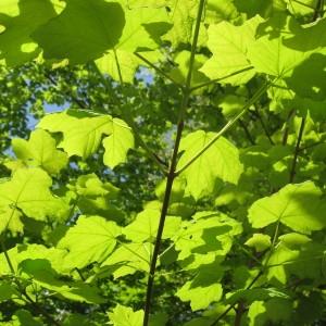 Photographie n°43407 du taxon Acer obtusatum Waldst. & Kit. ex Willd. [1806]