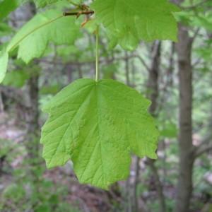 Photographie n°43410 du taxon Acer obtusatum Waldst. & Kit. ex Willd. [1806]
