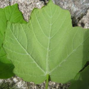 Photographie n°43411 du taxon Acer obtusatum Waldst. & Kit. ex Willd. [1806]