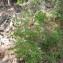 - Amelanchier ovalis var. rhamnoides (Litard.) Briq.