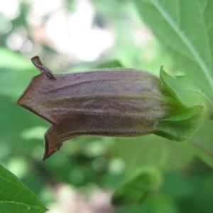 Photographie n°43420 du taxon Atropa belladonna L. [1753]