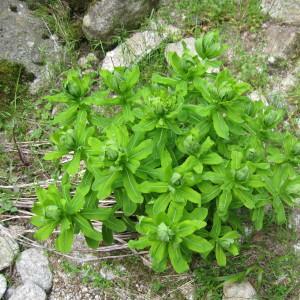 Photographie n°43438 du taxon Euphorbia hyberna subsp. insularis (Boiss.) Briq. [1936]