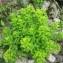 - Euphorbia hyberna subsp. insularis (Boiss.) Briq. [1936]