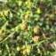 - Euphorbia spinosa subsp. spinosa