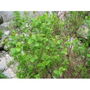 Hypericum hircinum L. subsp. hircinum (Millepertuis à odeur de bouc)